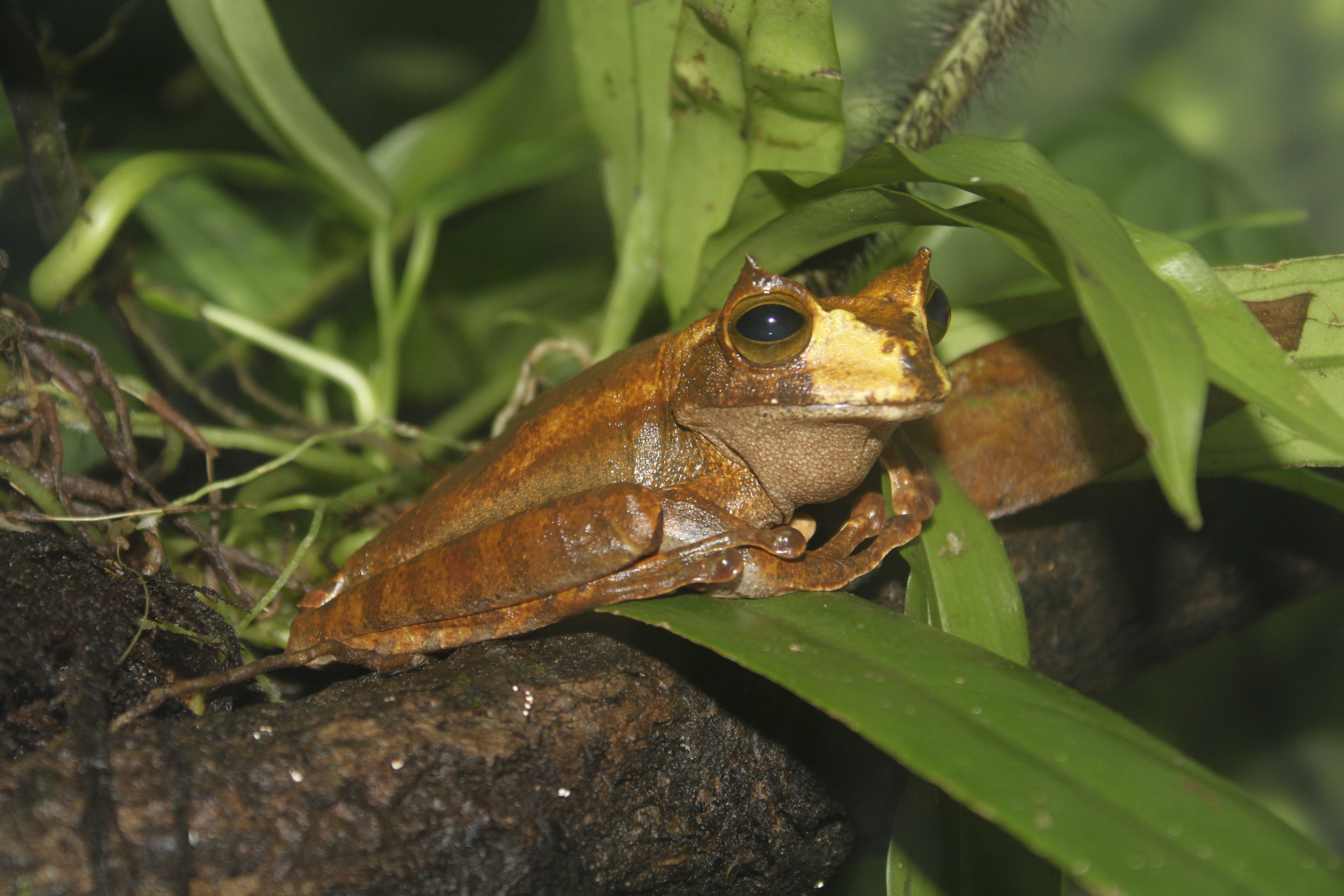 Image of Horned Marsupial Frog