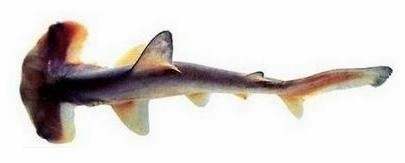 Image of Curry Shark