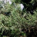 Image of Crimean Juniper