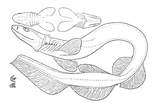 Image of Frilled Shark