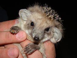 Image of Long-eared desert hedgehog