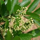 Image of Brazilian Peppertree