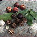 صورة <i>Pleiogynium timorense</i> (DC.) Leenh.