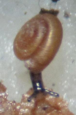 Image of <i>Punctum minutissimum</i> (I. Lea 1841)