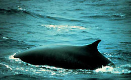 Image of Fin Whale