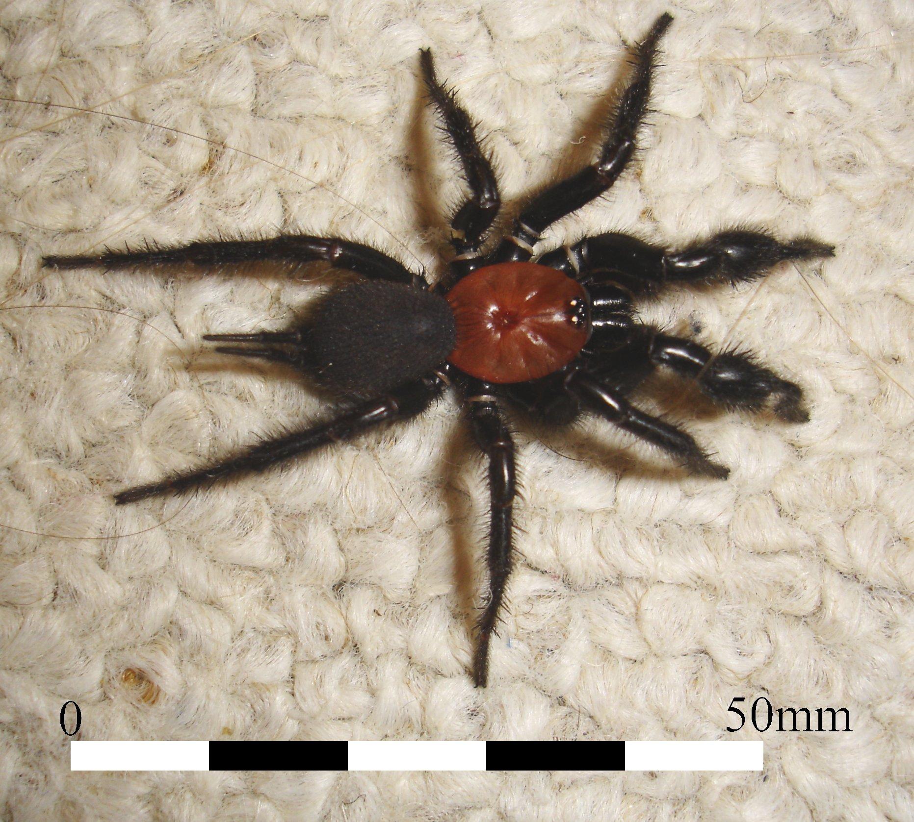 Image of <i>Porrhothele antipodiana</i> (Walckenaer 1837)