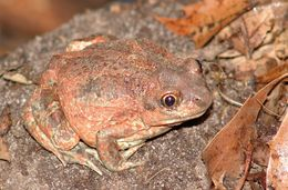 Image of common spadefoot toad