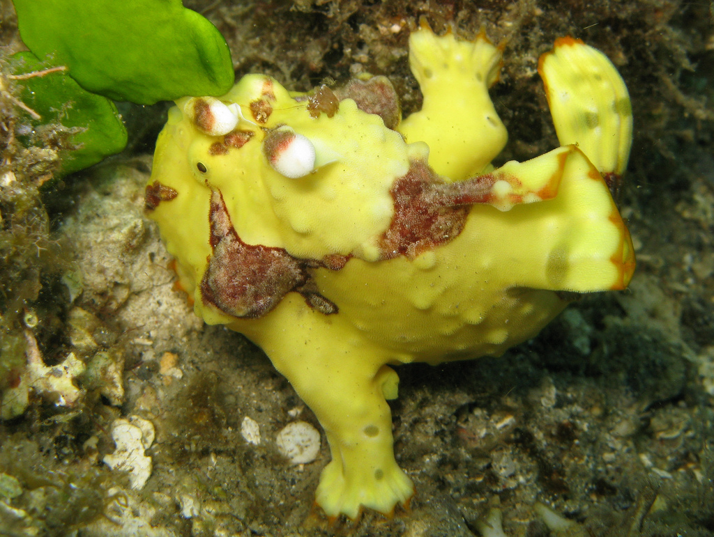 Image of warty frogfish