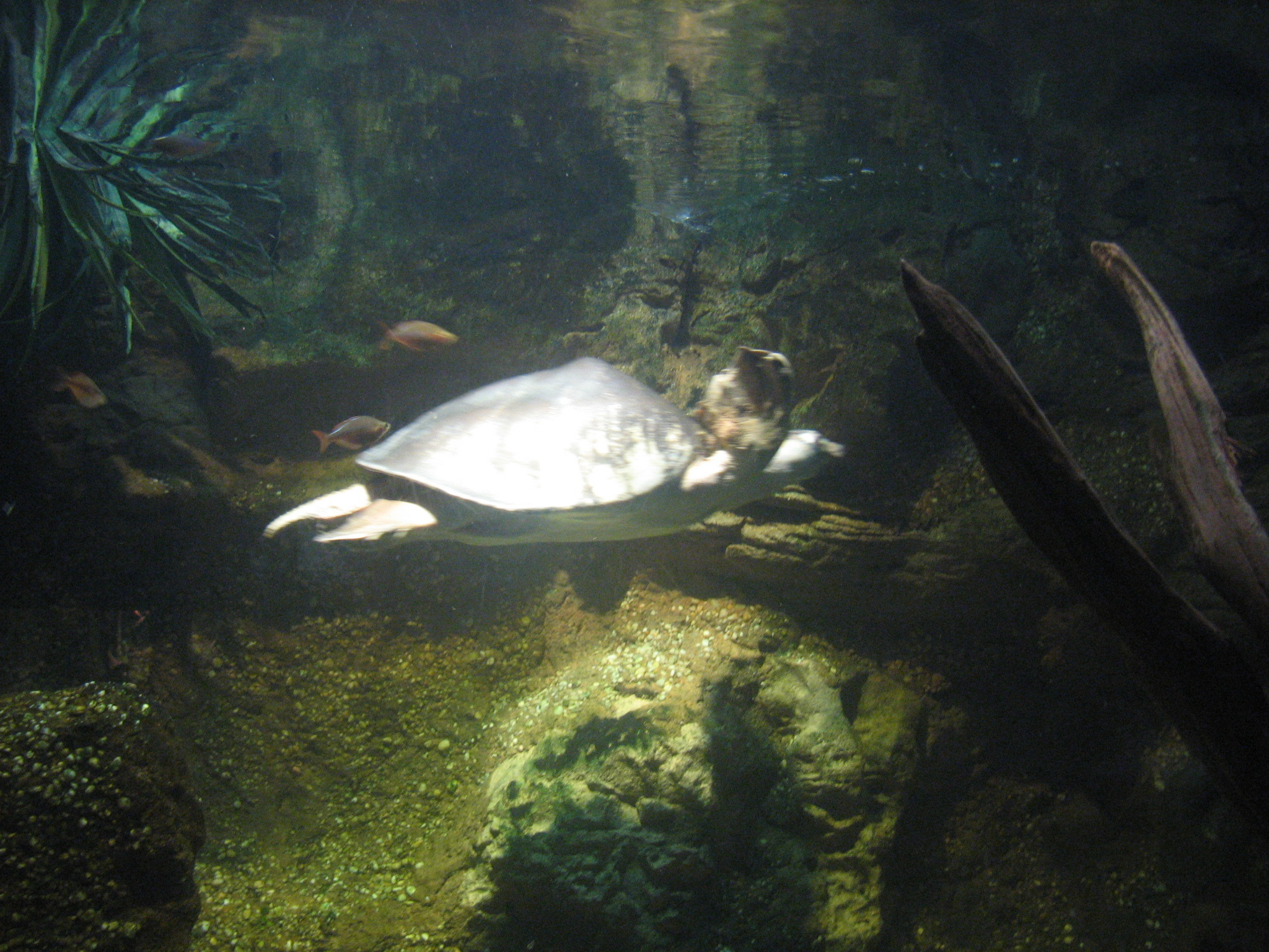 Image of Fly River Turtle