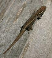 Image of Cape dwarf gecko
