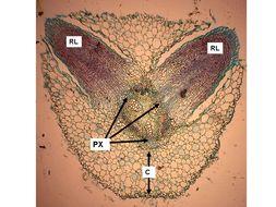 Image of <i>Pisum sativum</i> var. <i>macrocarpum</i>