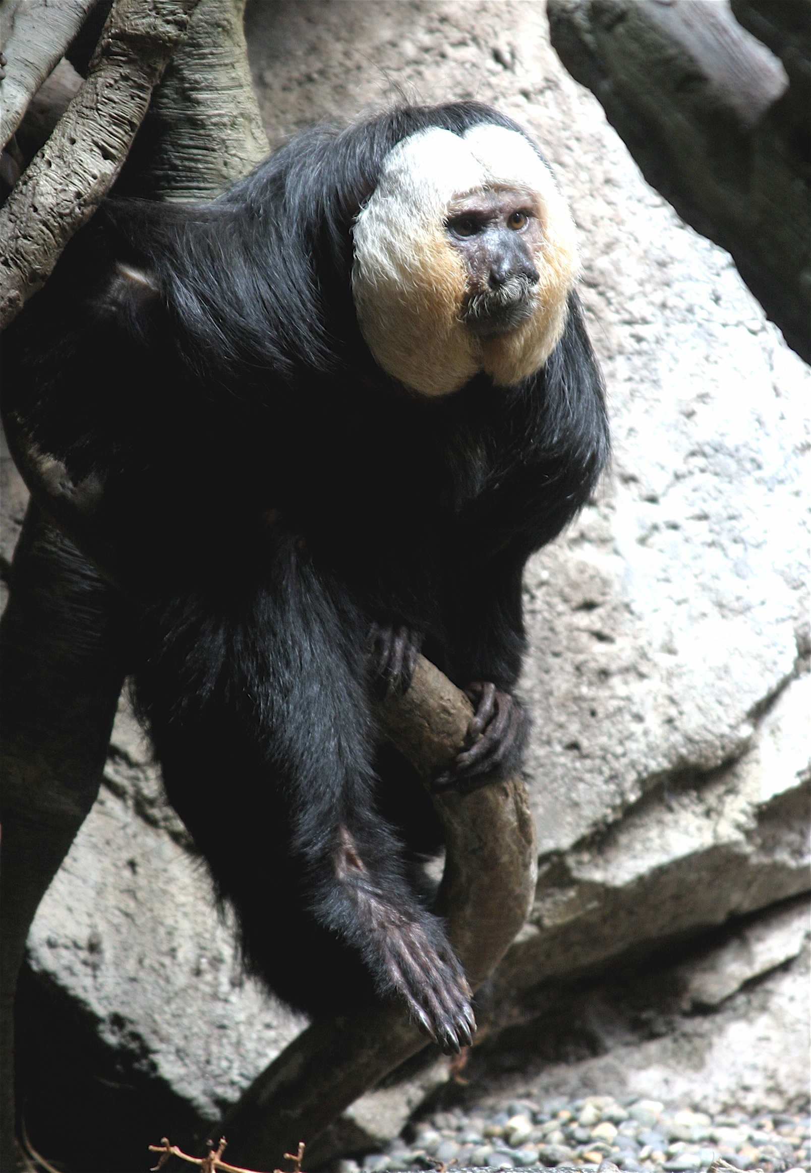 Image of White-faced Saki