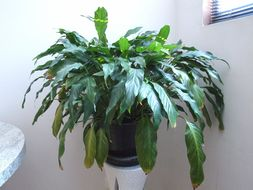 Image of peace lily