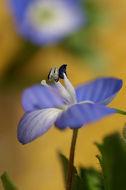 Image of birdeye speedwell