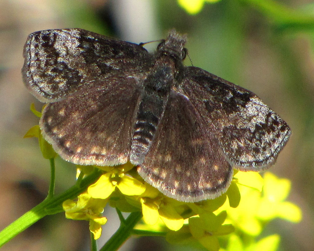 Image of Dreamy Duskywing