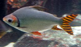 Image of Flagtail prochilodus
