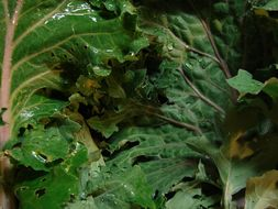 Image of <i>Brassica napus</i> ssp. <i>rapifera</i>
