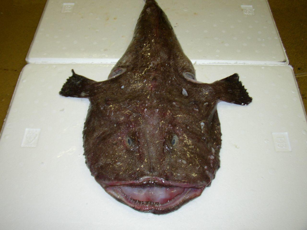 Image of Black-bellied Angler