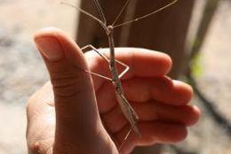 Image of Creosote Bush Walkingstick