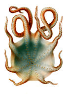 Image of Seven-arm octopus