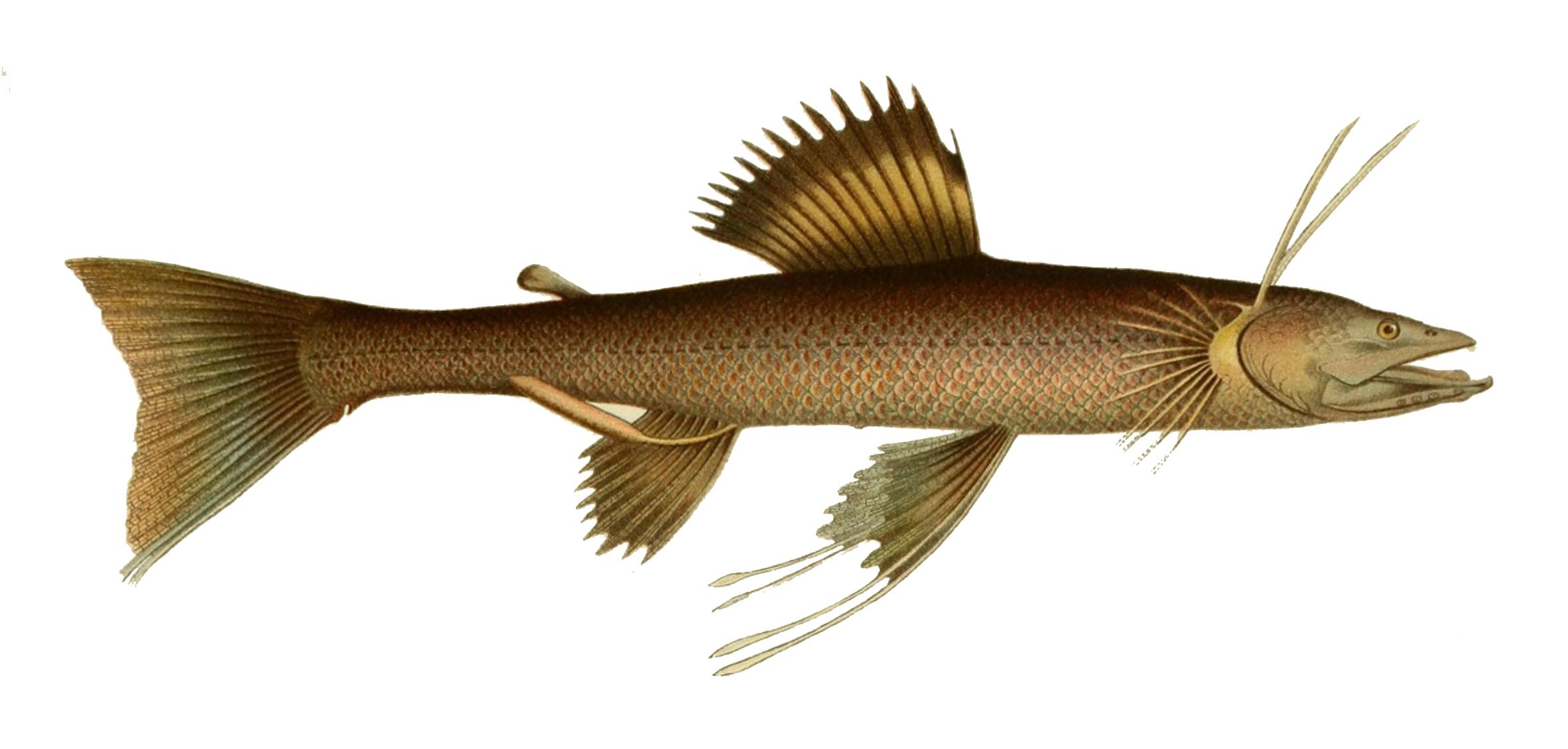 Image of <i>Bathypterois dubius</i> Vaillant 1888