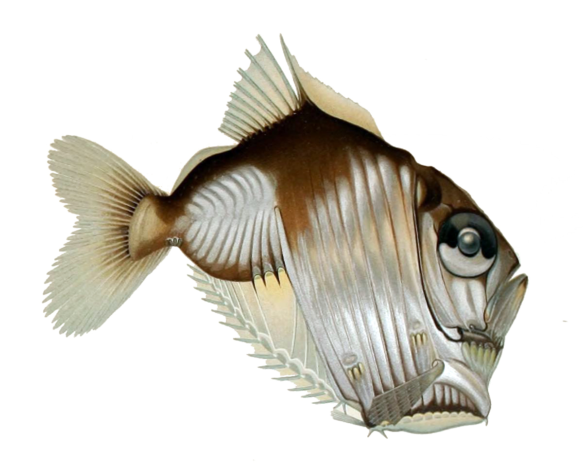 Image of Diaphanous Hatchet Fish