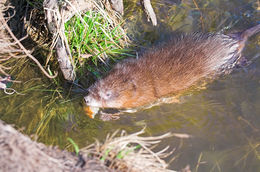 Image of Common Muskrat