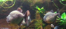 Image of San Francisco piranha