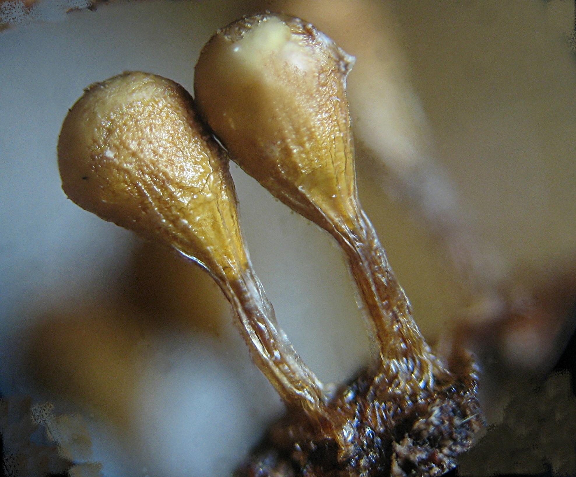 Image of <i>Trichia decipiens</i>