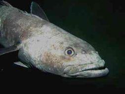 Image of Antarctic toothfish