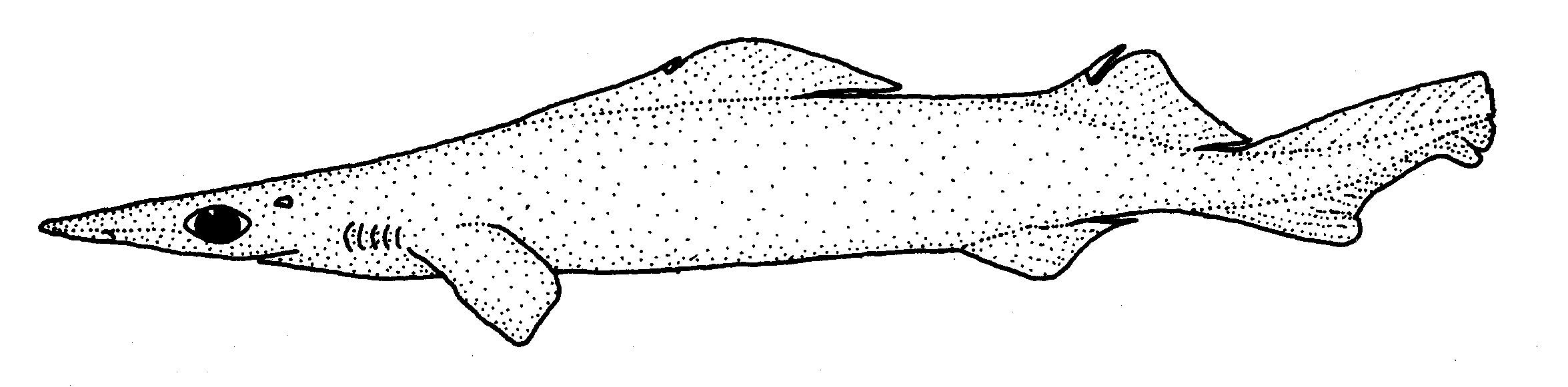 Image of <i>Deania calcea</i> (Lowe 1839)
