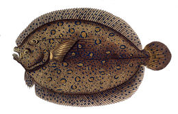 Image of peacock flounder