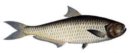 Image of Malabar thryssa