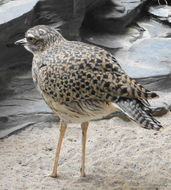 Image of Spotted thick-knee