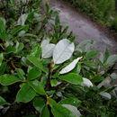 Image of <i>Salix glaucosericea</i>