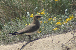 Image of Collared pratincole