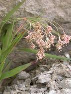 Image of Yellow Woodrush