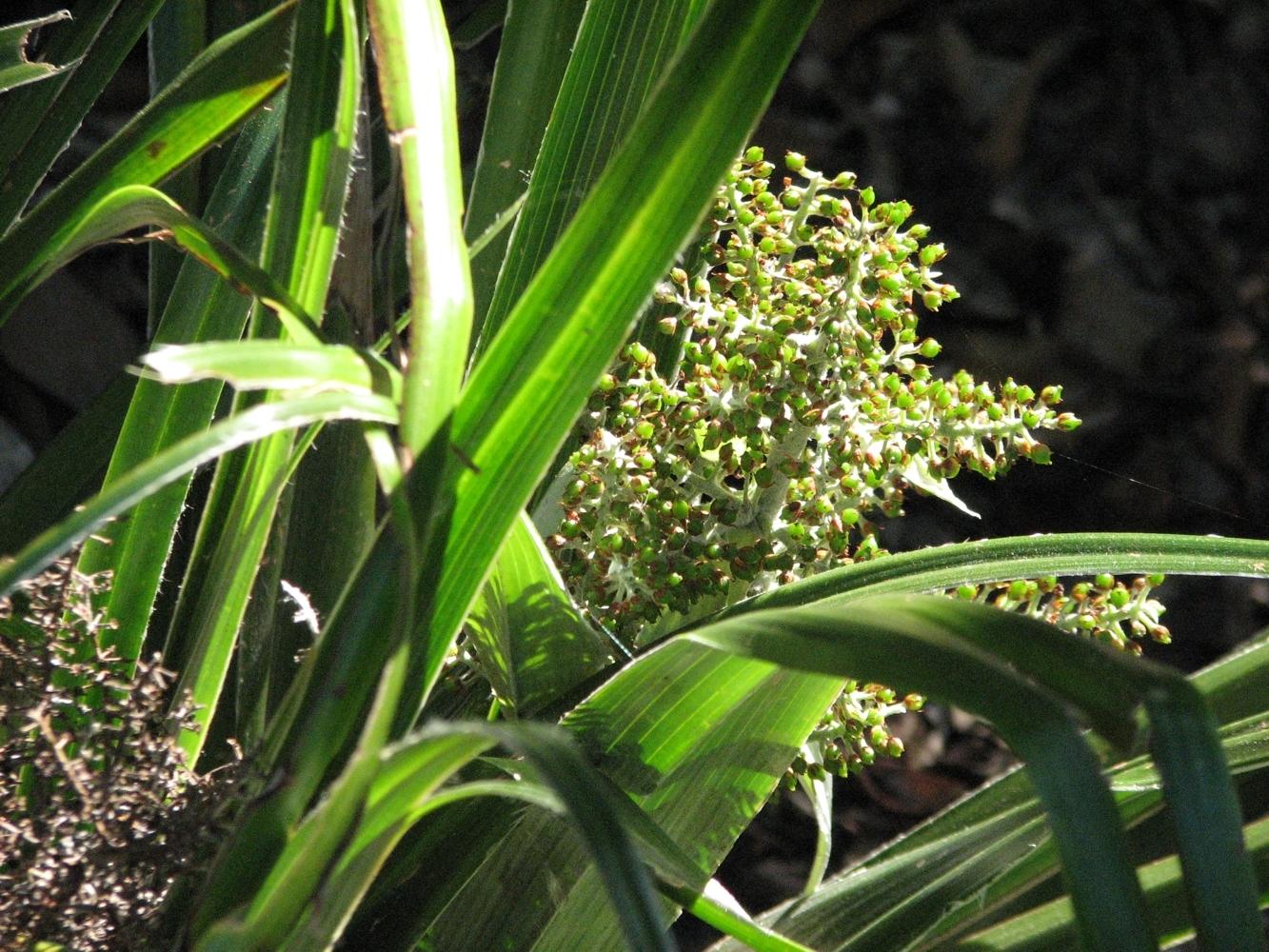 Image of <i>Astelia neocaledonica</i> Schltr.