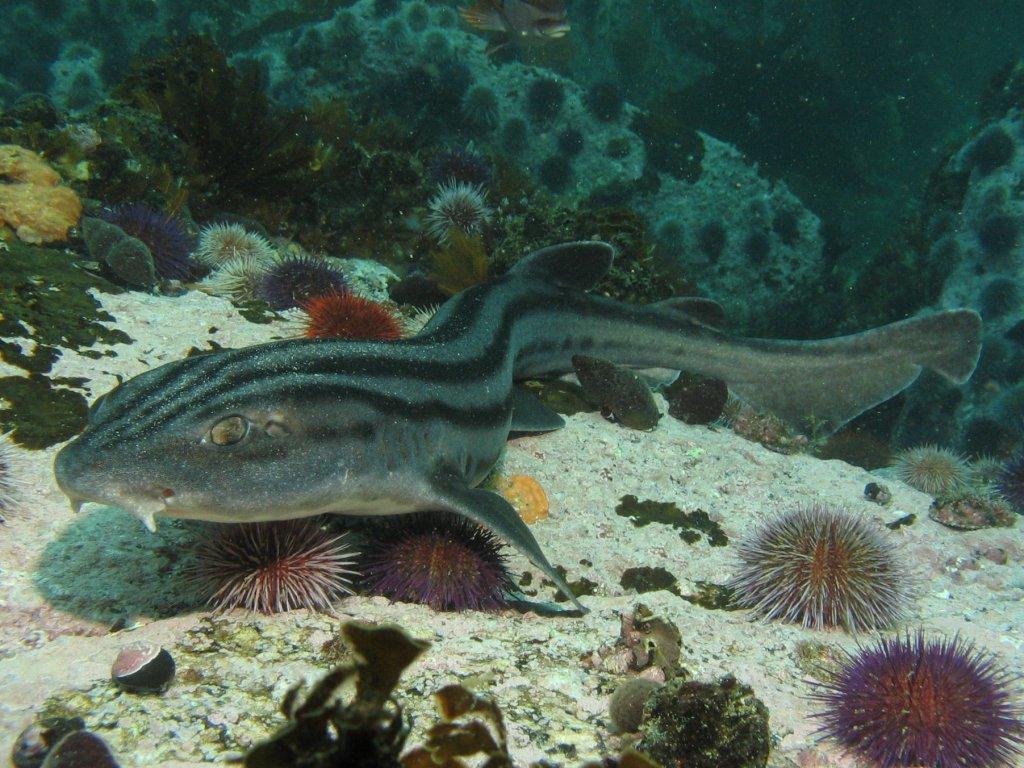 Image of Pyjama Shark