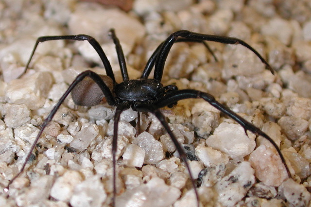 Image of spurlipped spiders