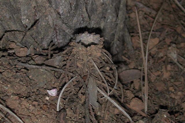 Image of turret spider