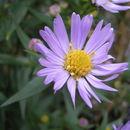 Image of Confused Michaelmas daisy
