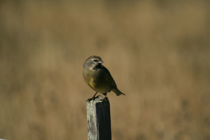 Image of Canary-winged Finch