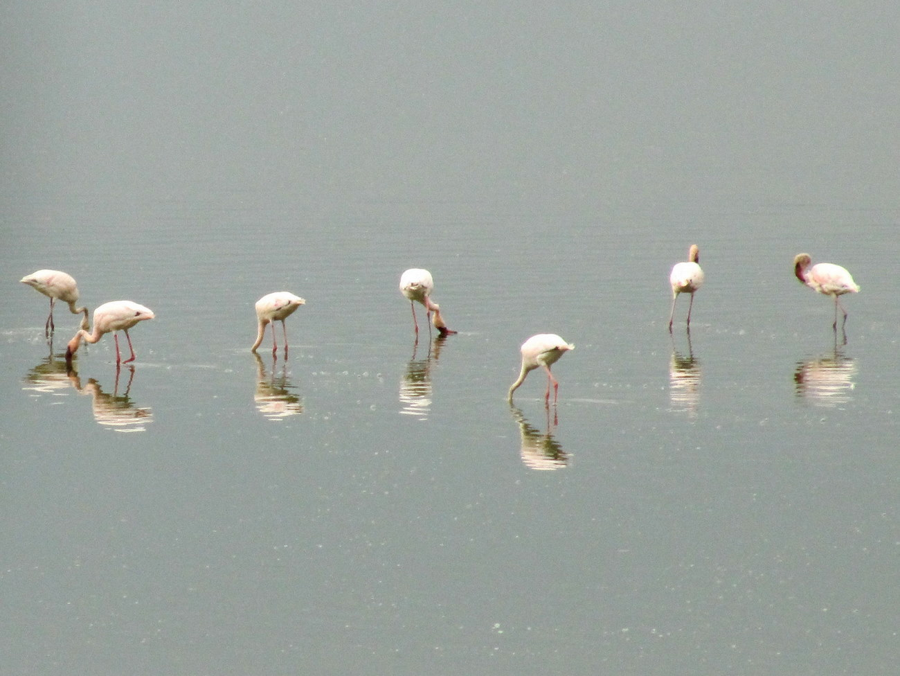 Image of Lesser Flamingo