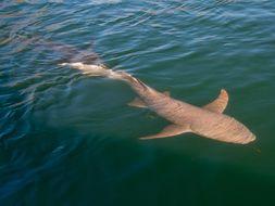 Image of Tawny Nurse Shark