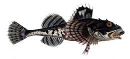 Image of <i>Myoxocephalus scorpius</i> (Linnaeus 1758)