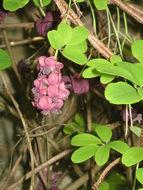Image of Five-leaf Akebia