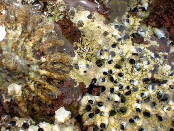 Image of <i>Dendropoma petraeum</i> (Monterosato 1884)
