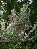 Image of rosemary