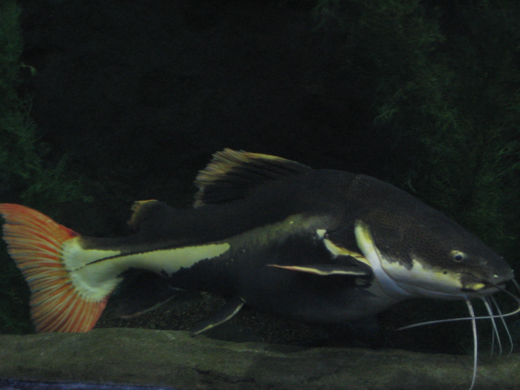 Image of Redtail catfish